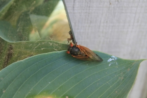 A Cicada admiring his glossy new exoskeleton.