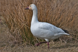 Lesser Snow Goose, Near Terra Nova Natural Area, Richmond, British Columbia