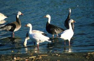 snow-geese-birds-males-and-females-725x477